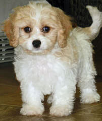 Cavachon Puppies - Dog Breeders