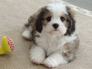 3 Pines Kennels Cavachon - Dog Breeders