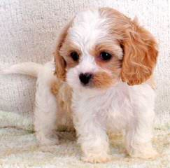 Cavachon Pups Small, Rare And Unique Colors - Dog Breeders