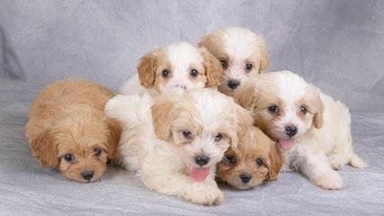 Precious Paws - Dog Breeders