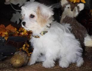 Great Cavachon Puppies! - Dog Breeders