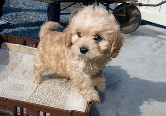 Cavachonpuppies.Com - Dog Breeders