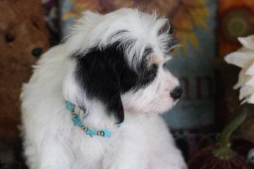 Cavachon, Shichon, Cavatzu, Papichon, Doodle Puppies - Dog Breeders