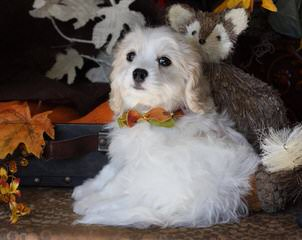 Wee-Chon's, Cavachon's - Dog Breeders