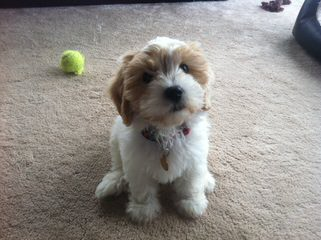 Wee-Chon's, Cavachon's - Dog and Puppy Pictures