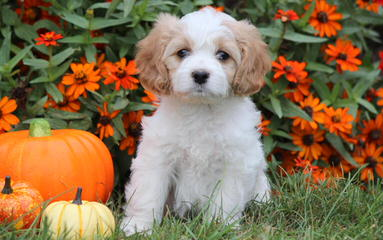 3 Pines Kennels Cavachon - Dog and Puppy Pictures