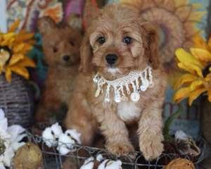 Absolutely Elegant Kennels - Dog Breeders