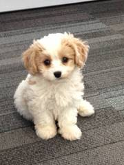 Cavachonpuppies.Com - Dog and Puppy Pictures