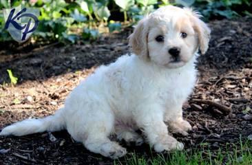 Cavachon Puppies - Dog Breeders