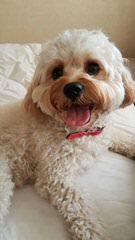 Oct. Pups Cavachon's Shih Tzu's - Dog Breeders