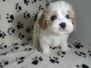 The Absolute Cutest Wee-Chon, Cavachon, Zuchon Shichon Puppies - Dog and Puppy Pictures