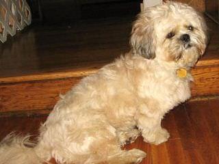 Yorkie-Poos & Cav-A-Chons - Dog Breeders