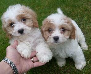 Cavachon, Shichon, Cavatzu, Papichon, Doodle Puppies - Dog and Puppy Pictures