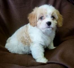 Great Cavachon Puppies! - Dog Breeders
