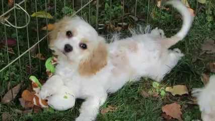 Diamonddoodles - Dog Breeders
