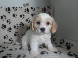 Heartland Puppies - Dog Breeders