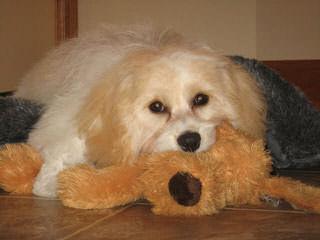 The Absolute Cutest Wee-Chon, Cavachon, Zuchon Shichon Puppies - Dog Breeders