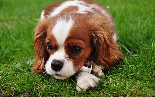 Cavalier King Charles Spaniel Dogs and Puppies