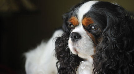 Sutherland House Cavaliers (Akc) - Dog Breeders