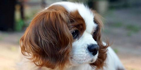 World Class Cavalier - Dog Breeders
