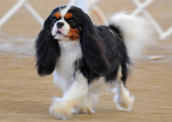 Monticello Cavalier King Charles Spaniels - Dog and Puppy Pictures