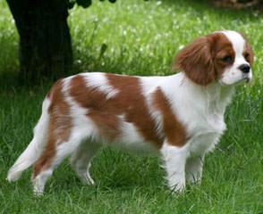 Cavalier Lovers - Dog Breeders