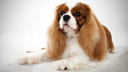 World Class Cavalier King Charles Breeder - Dog Breeders