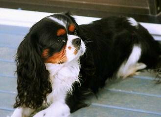 Lynlee Cavaliers - Dog Breeders