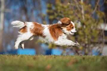 Marino's Precious Cavaliers - Dog Breeders