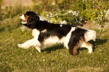Hurricane Cavaliers - Dog Breeders