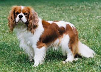 Woodland Cavaliers - Dog Breeders