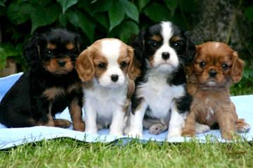 Royal Flush Cavaliers - Dog Breeders