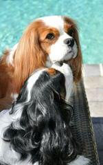 Vanity Darling Cavaliers - Dog Breeders