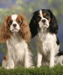 Charming Cavaliers - Dog Breeders