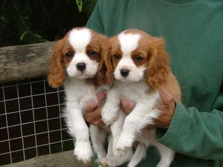 Heidalay Cavaliers - Dog Breeders
