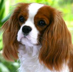 Myrna's Royal Cavalier King Charles Spaniels - Dog Breeders