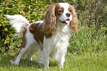 Royal Flush Cavaliers - Dog Breeders