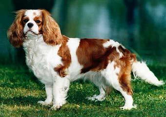 Truwain Cavaliers - Dog Breeders