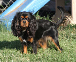 St Jon Cavaliers - Dog and Puppy Pictures