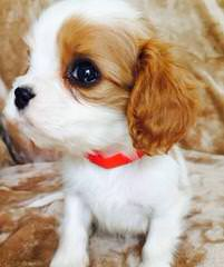 Kingdom Cavaliers – Pups Now Available - Dog Breeders
