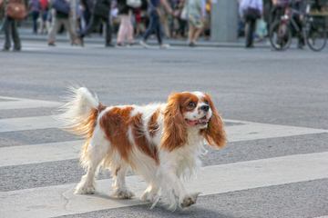 Simply Southern Cavalier Puppies - Dog Breeders