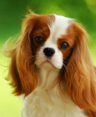 Myrna's Royal Cavalier King Charles Spaniels - Dog Breeders