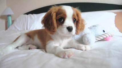 Cradle of Love Cavaliers - Dog Breeders