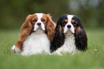 Dansyn Cavaliers - Dog Breeders