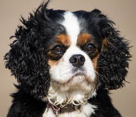 Rich & Famous Cavaliers - Dog Breeders