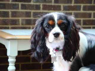 Countryside Cavaliers - Dog Breeders