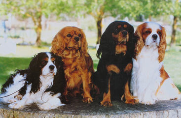 Michigan Akc Cavalier King Charles Spaniel - Dog and Puppy Pictures