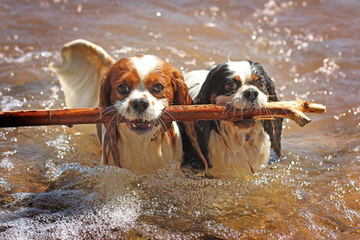 Royal Flush Cavaliers - Dog and Puppy Pictures