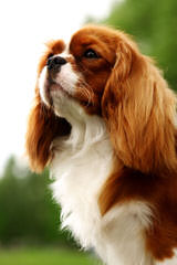 Florida Cavapoos – Cavalier King Charles Spaniel - Dog Breeders