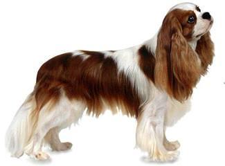 Phoenix Cavaliers - Dog Breeders